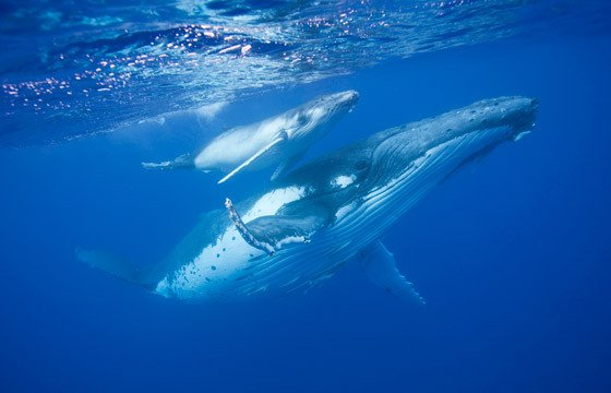 The Humpback Migration can be seen from your Rincon Surf Rental