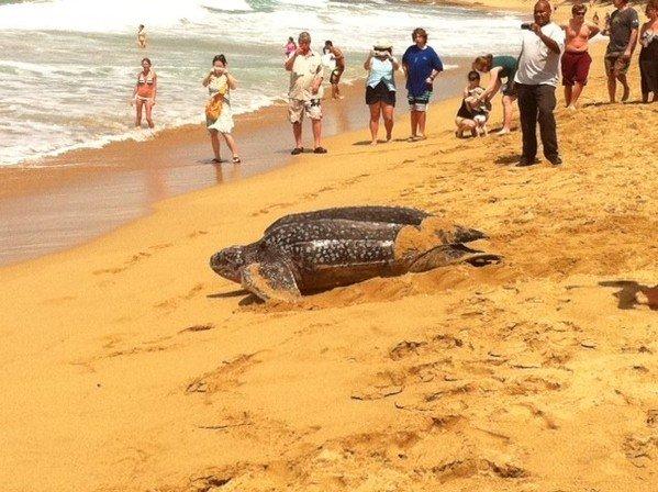 Endangered Latherback Turtles or Rincon Puerto Rico